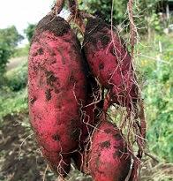 芋掘り遠足で掘ってきたさつまいもの保存方法