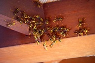 アシナガバチの巣を自力で駆除した方法
