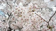 船岡城址公園の桜の見頃は?桜まつりや駐車場は?
