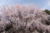 六義園の桜の見頃は?ライトアップはある?混雑状況は?