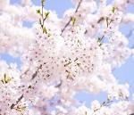 岩手公園の桜の開花情報と桜祭りやライトアップ情報!