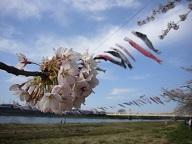 北上展勝地の桜の開花時期はいつ?アクセス方法や駐車場は?