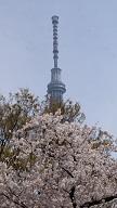 隅田公園の桜の見頃は?屋形船や水上バスからも見られる?