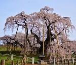 三春滝桜の見頃とアクセス方法!渋滞はどのくらいする?