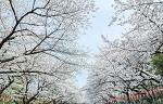 上野恩賜公園の桜の開花時期は?ライトアップや混雑状況は?