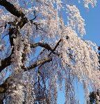 榴岡公園の桜祭り2017はいつ?ライトアップや屋台はある?