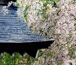 角館武家屋敷の桜2017の見頃は?桜まつりや駐車場情報も!