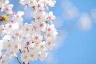 盛岡市石割桜の2017の開花状況は?アクセスや駐車場は?